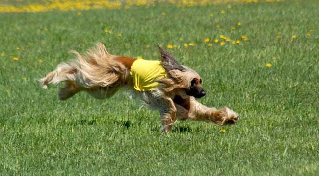 Races de chiens:  Lévrier Afghan