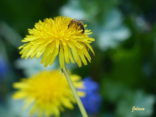 pissenlit abeille
