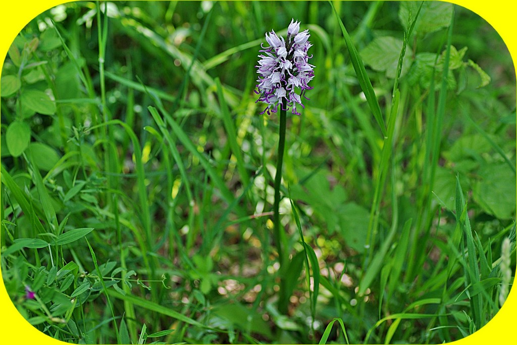ORCHIS SINGE ET PHOTO TRUQUÉE