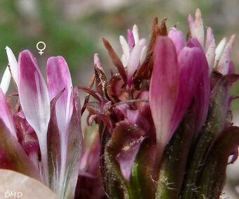 Petasites pyrenaicus - Petasites fragrans