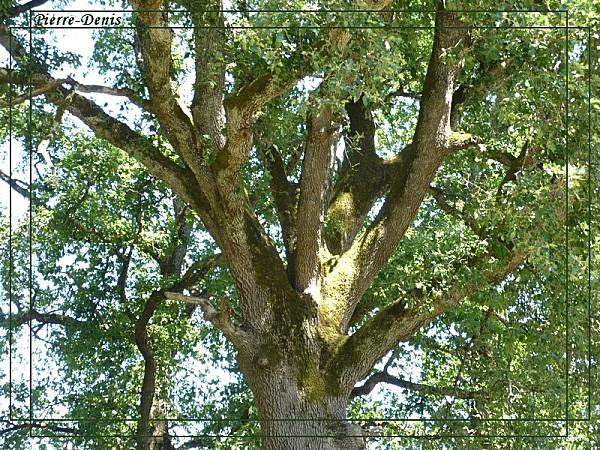 Chêne 11