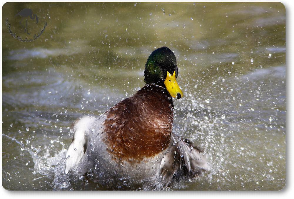 Canard colvert (Anas platyrhynchos) plein de vie