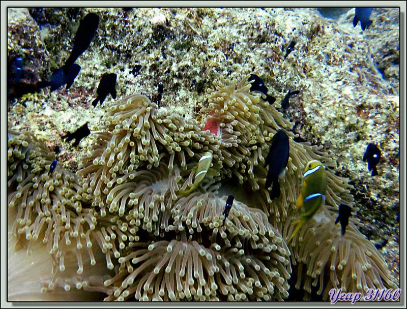 Plongée bouteille : Poisson-clown et anémone - Bora Bora - Polynésie française