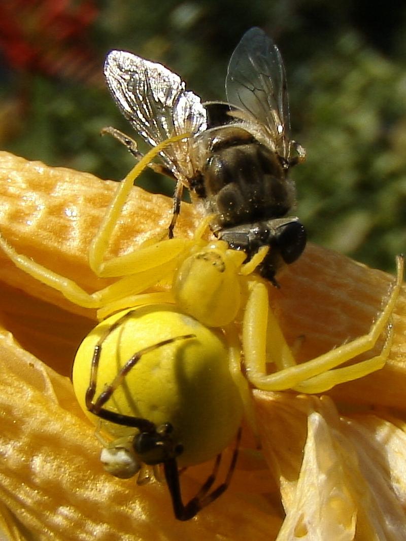 Thomise citron (araignée crabe)