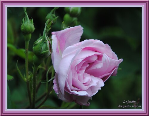 Rose violine