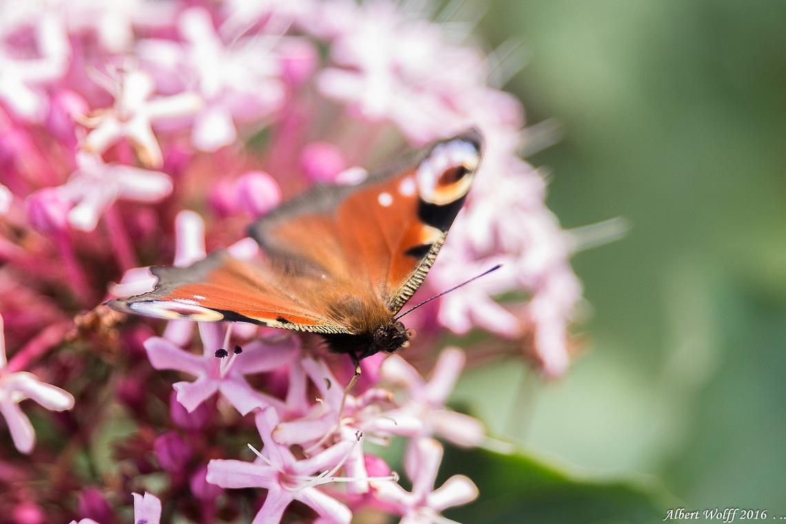 Histoire de papillon.