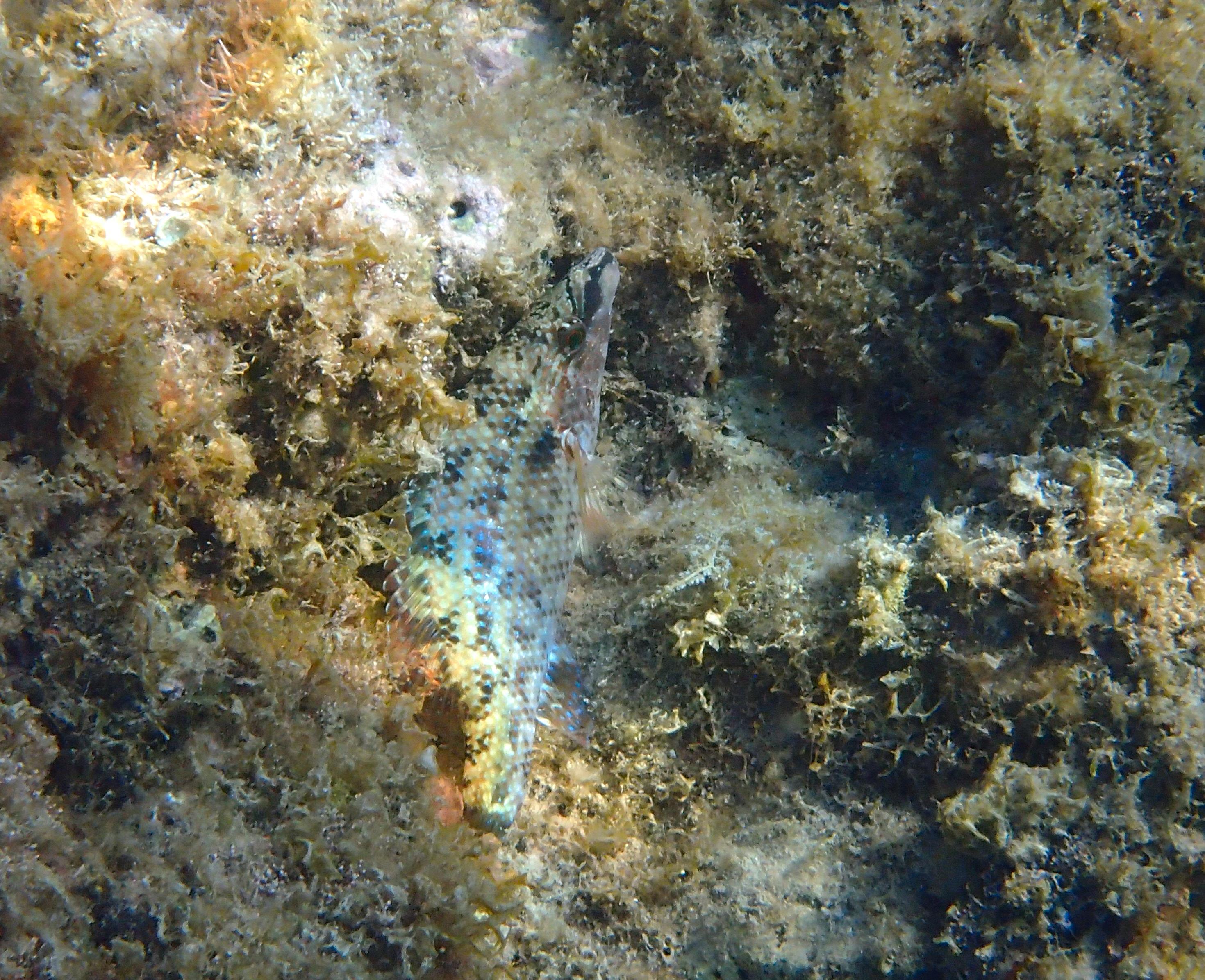 crénilabre paon