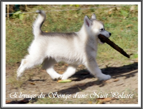 Chiots Huskys Groupe (57j)