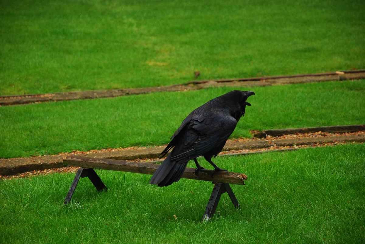 A Londres, y avait des corbeaux ...