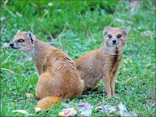 Photo de Mangouste jaune du Zoo de Pessac (Gironde)