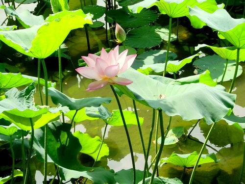 c'est le moment des lotus