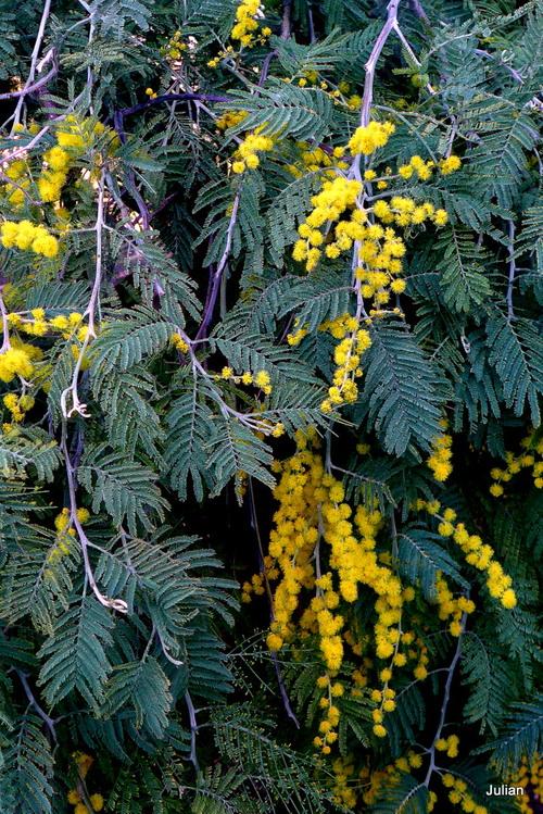 Le mimosa en fleur