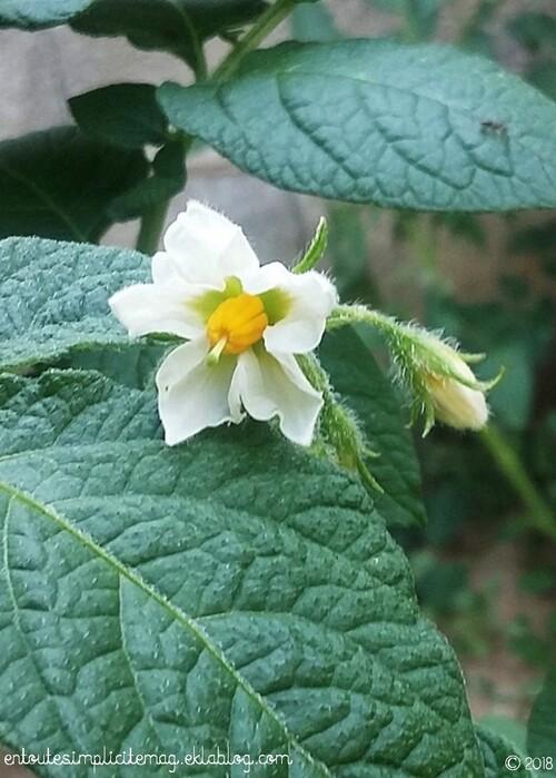 Les pommes de terre Pompadour : enfin la floraison !