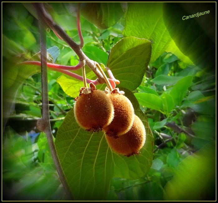 Actinidia deliciosa, l'arbre à kiwi, groseille de Chine,la souris végétale