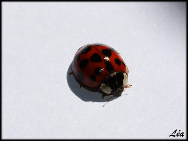 Insectes-2-4710-coccinelle.jpg