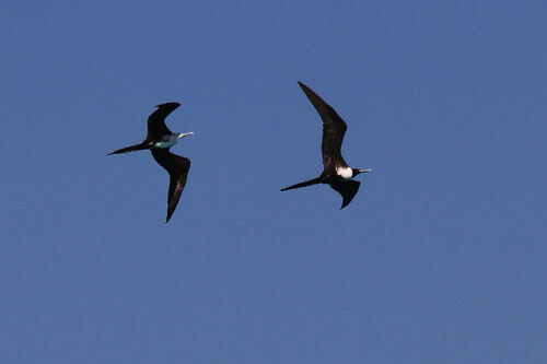 Frégate Superbe (Magnificent Frigatebird)