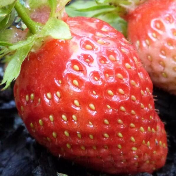 fraise-gariguette---mai-2014.jpg