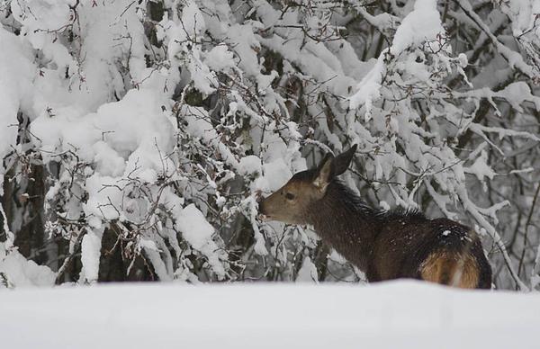 Bonjour....       une biche en hiver....