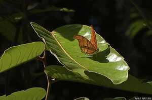 Marpesia petrus petrus