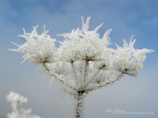 Série  Fleurs gelées