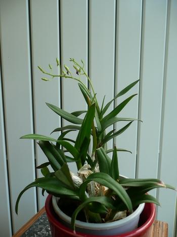 Dendrobium (2)
