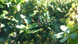 l'araignée de la calobra...