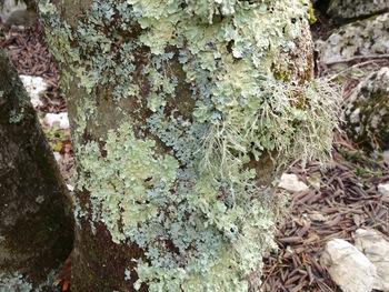 Lichens sur un tronc de chêne vert