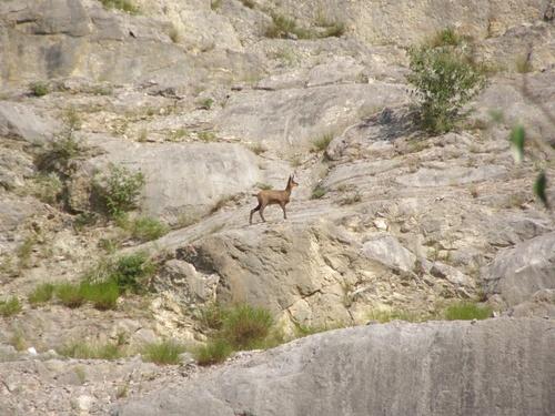 1 des 12 chamois de la carrière du Salève à Etrembières