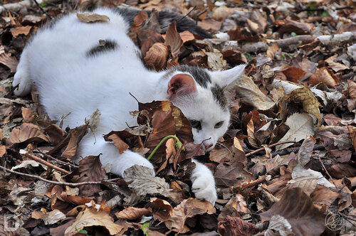 Chat dans les feuilles