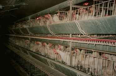 L' élevage industriel des poules