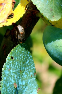 Prunier - Prune en Juillet