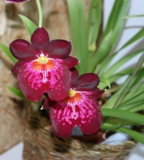 Fleurs cultivées : Orchidées