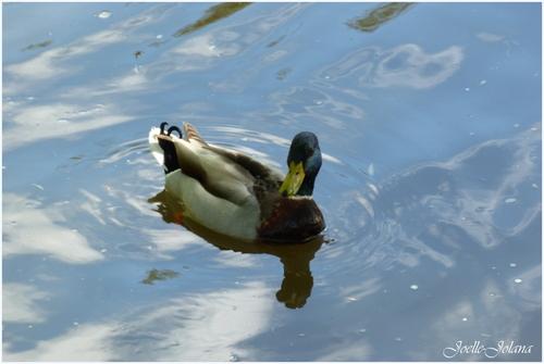 les canards ++