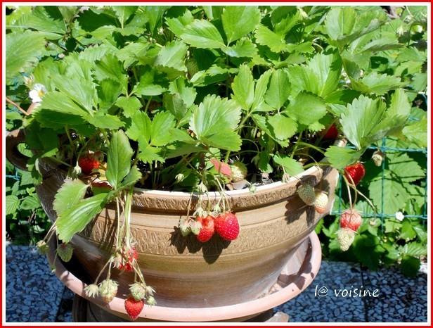 1eres-fraises-2012.jpg