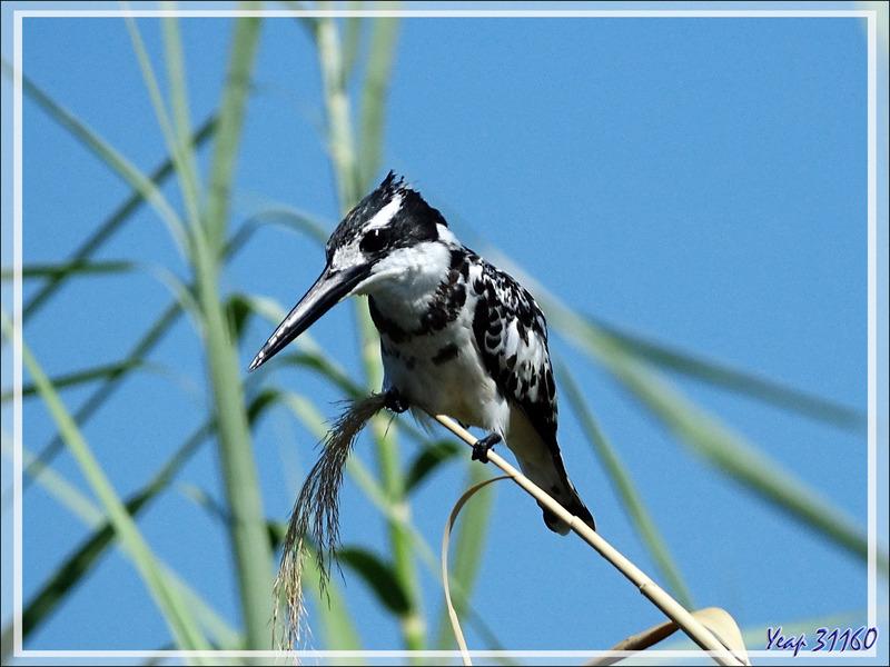 Martin-pêcheur pie, Pied Kingfisher (Ceryle rudis) - Safari nautique - Parc National de Chobe - Botswana