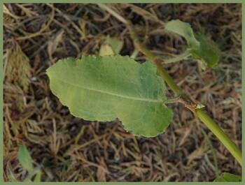 Patience à feuilles obtuses