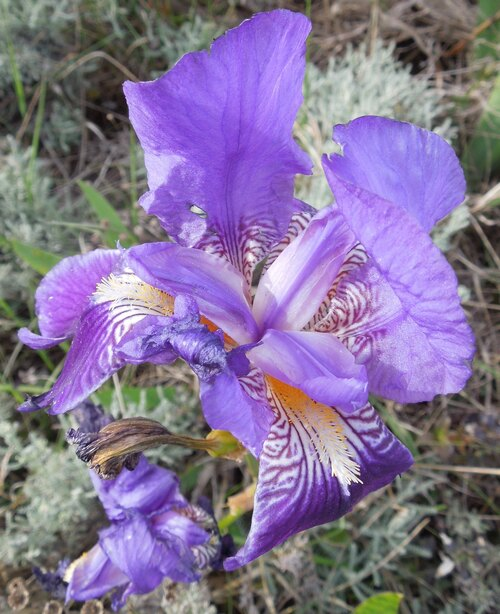 Les iris 1
