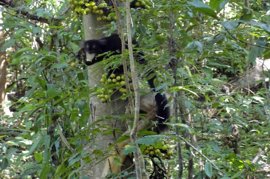 « Lémuriens – Parc National de Lokobe »