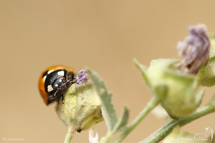 Coccinelle à sept points - Coccinella septempunctata