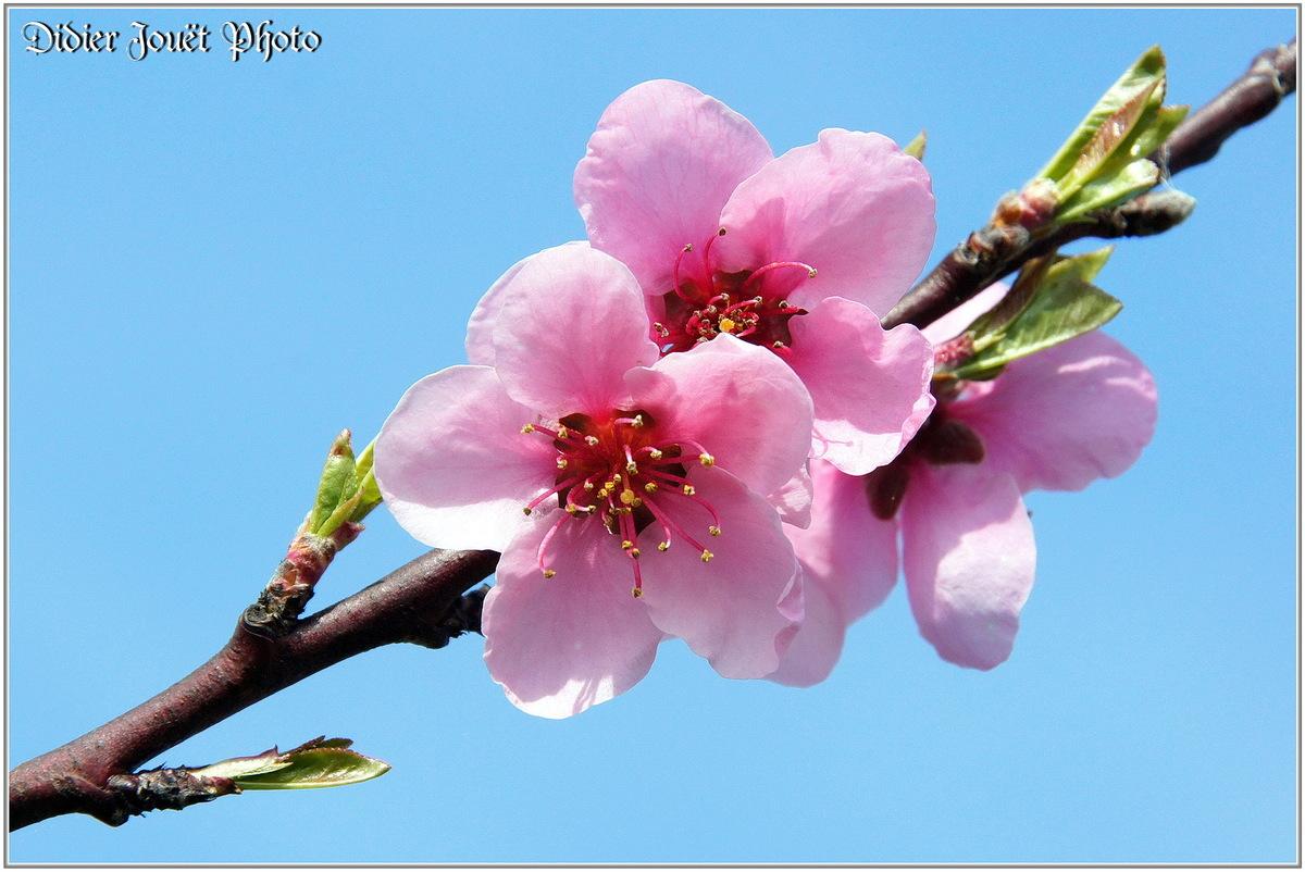 Pêcher (1) - Prunus persica
