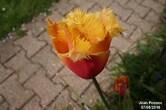 Tulipe Sorbet