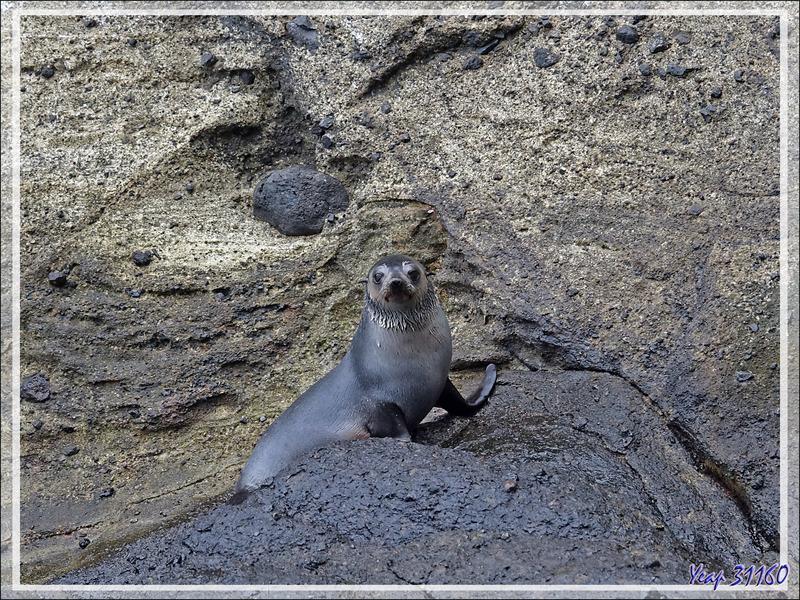 Otarie à fourrure subantarctique, ou Otarie d'Amsterdam, Subantarctic fur seal (Arctocephalus tropicalis ) - Nightingale Island - Tristan da Cunha