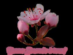 Fleurs d'Abricotier du jardin 2013