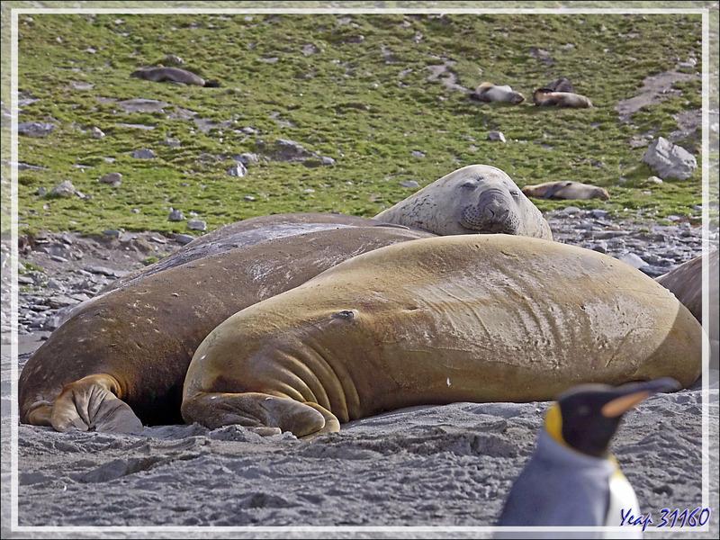 Des Manchots royaux partout, au milieu de gros rochers qui sont, en fait, des Éléphants de mer - Saint Andrews Bay - Géorgie du Sud