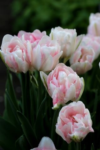 Tulipes 2018 : Finola