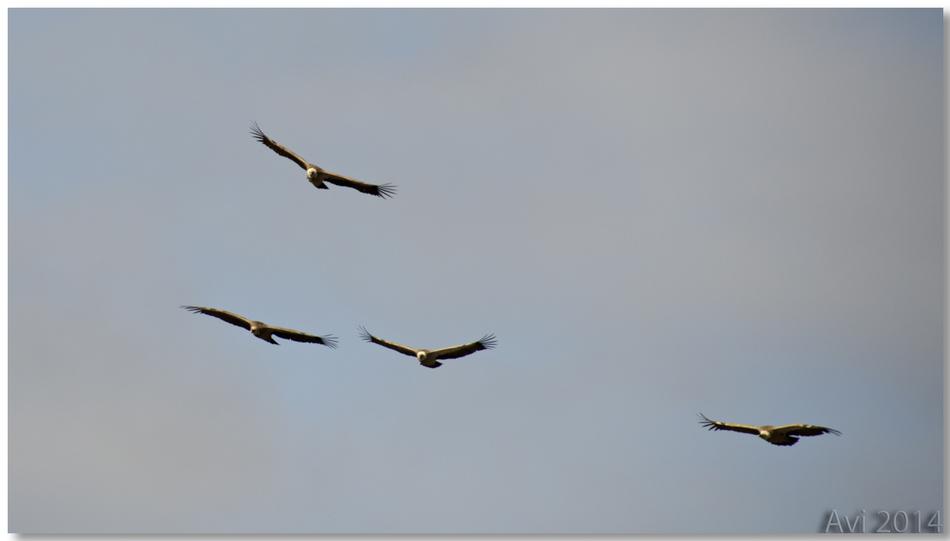 Les vautours du Verdon