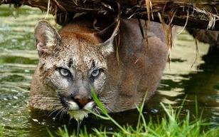 Chile: on the trail of the elusive puma - Telegraph