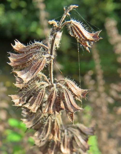 Vertus médicinales des plantes sauvages : Mélisse
