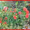 PLANTES ANNUELLES 2010 403.jpg