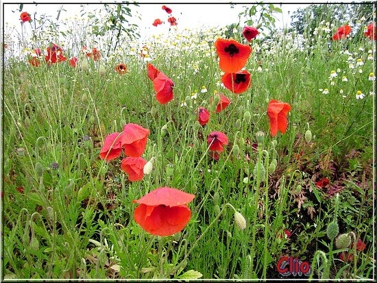 COQUELICOTS - 1 - RED